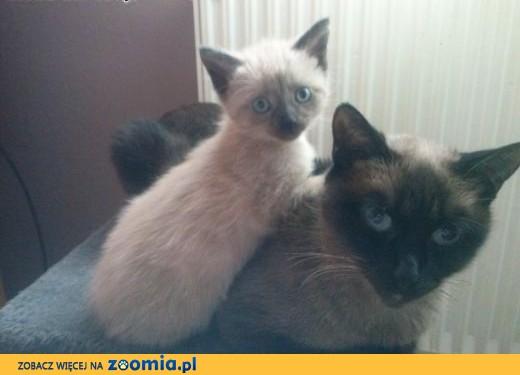 Kot Syjamski Ogłoszenia Z Hodowli Koty Syjamskie Zoomiapl Pl 1