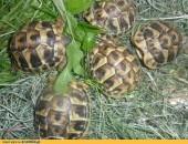 Żółw grecki lądowy Testudo Hermani,