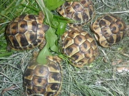 Żółw grecki lądowy Testudo Hermani