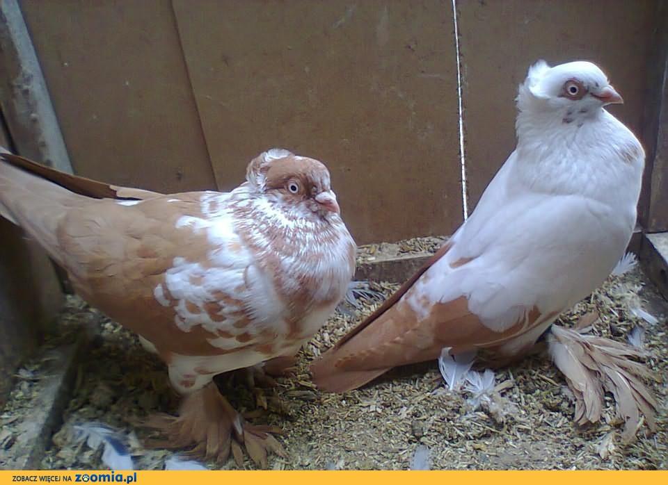 sprzedam golebie mazowieckie