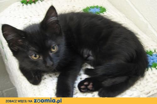 Czarne kotki szukają domków! Poznań ale możemy pojechać dalej