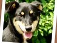 Młody psiak,typ jamnika,grzeczny,łagodny,spokojny PLUS_Adopcja_