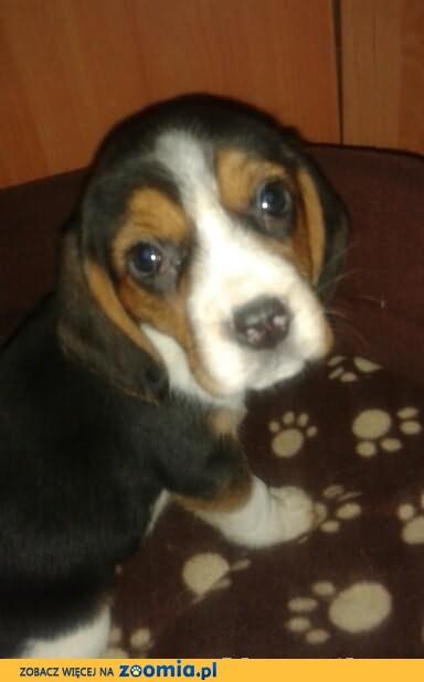 szczeniaki beagle
