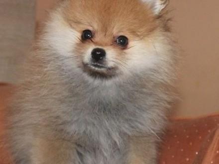 Szpic Miniaturowy ( Pomeranian)