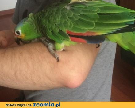 Amazonka żółtolica - 9 miesięczna młoda z wyposażeniem