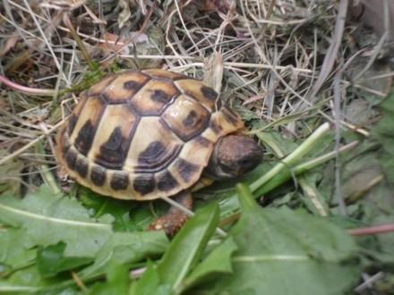 żółw grecki lądowy Testudo Hermani 2018 oraz 2017