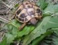 'żółw grecki lądowy Testudo Hermani 2018 oraz 2017
