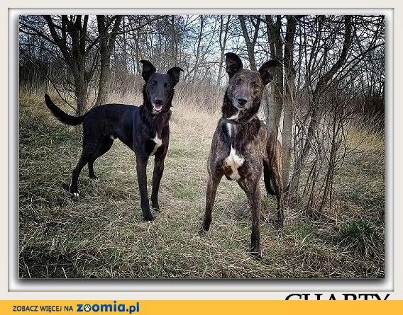 Wspólny dom dla dwóch chartów,HOL i BOL,łagodne,zjawiskowe psy.ADOPCJA .