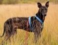 'Wspólny dom dla dwóch chartów,HOL i BOL,łagodne,zjawiskowe psy.ADOPCJA .