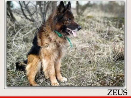 Owczarek niemdługowłosy nieufny do obcych szczepiony pies ZEUSAdopcja   wielkopolskie Rzeszów