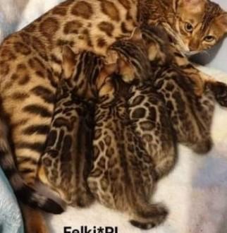 Koty bengalskie  mamy kocięta!
