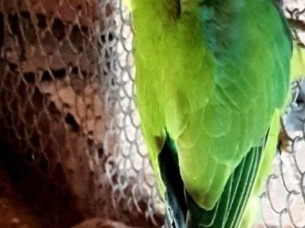 Aleksandretta śliwogłowa samiec