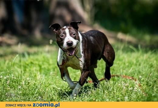 Jero idealnym psem dla miłośnika rasy bull terrier,  mazowieckie Warszawa