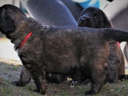 Leonberger - Szczenięta FCI - Psy i Suczki - Badania Rodziców - Puppy
