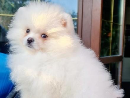 Piękny Biały Piesek Pomeranian Rodowód FCI