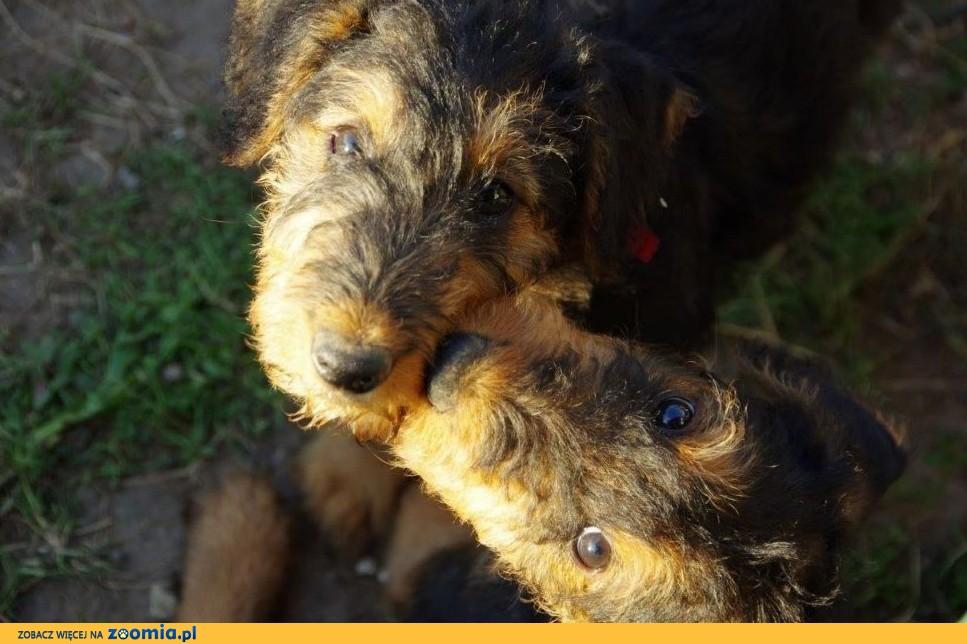Airedale Terrier szczenięta sprzedam