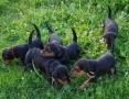 'Airedale Terrier szczenięta sprzedam