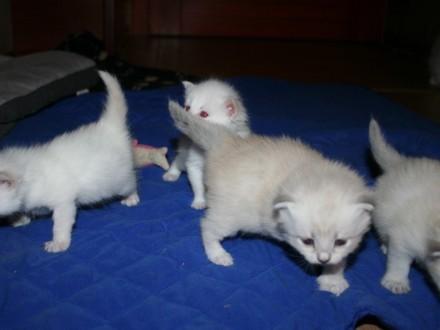 Sprzedam kocięta syberyjskie Neva masquarade. Rezerawcja.