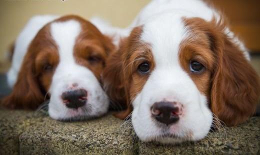 Seter irlandzki czerwono-biały - doskonałe szczeniaki!   śląskie Gliwice