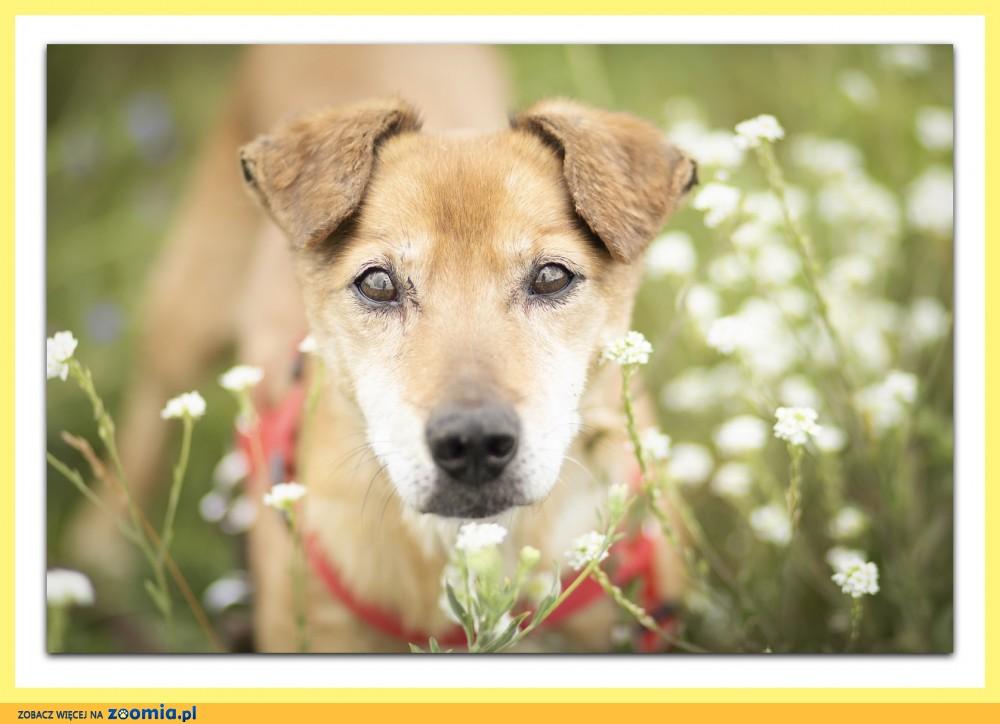 Psi senior,typ jamnika,spokojny,grzeczny psiak RUDI_Adopcja