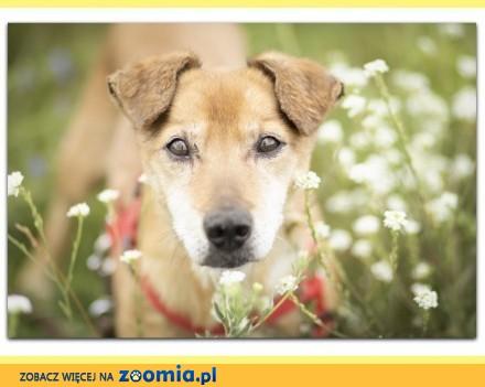 Psi senior typ jamnika spokojny grzeczny psiak RUDI_Adopcja
