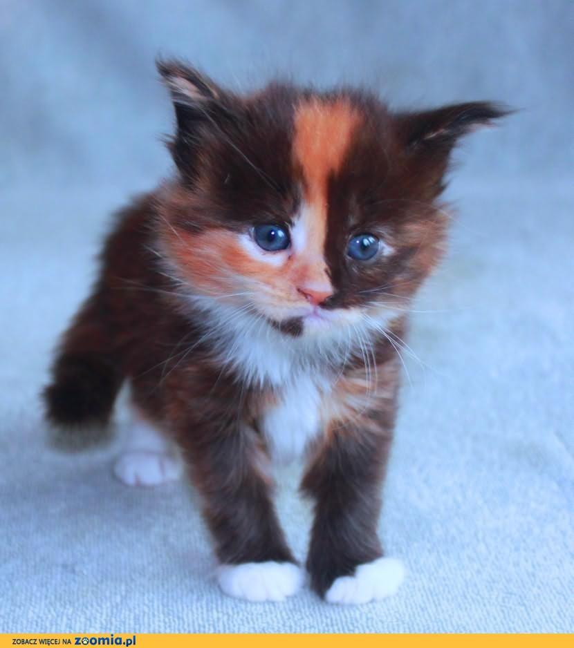 MCO z rodowodem po utytułowanych rodzicach kotki