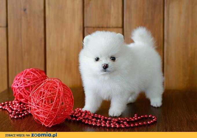 Boże Narodzenie Prezent Dostępne piękne Pomeranian szczenięta