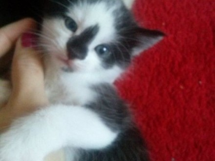 Oddam 2,5 miesięczne kotki!,  lubelskie Biała Podlaska
