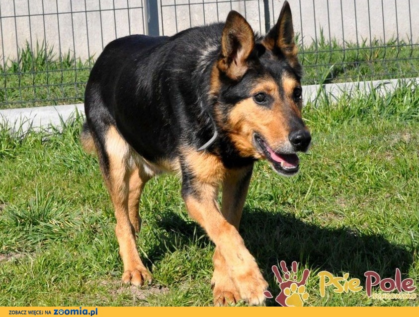 ADMIRAŁ-piękny, wspaniały psiak-nikt go nie chce, bo jest niewidomy, adopcja