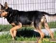 'ADMIRAŁ-piękny, wspaniały psiak-nikt go nie chce, bo jest niewidomy, adopcja