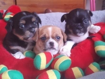 Piękne szczenięta Chihuahua