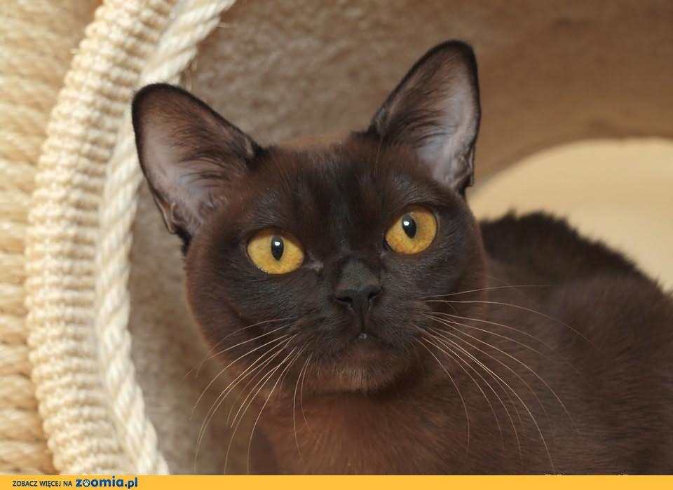 sobolowa kotka burmska do adopcji