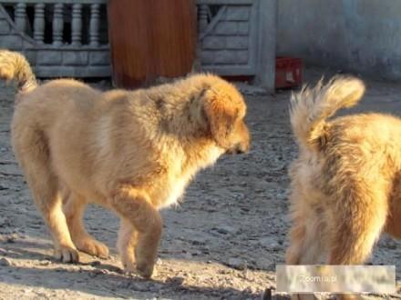 Masif tybetański szczeniaki
