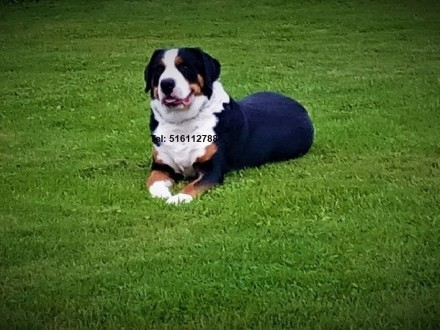 Duży Szwajcarski Pies Pasterski - reproduktor