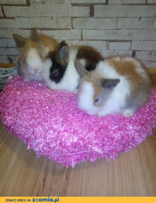 króliki króliczki karzełki teddy, miniaturki, lewki,  małopolskie Kraków