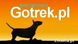 Bulterier, Bullterrier - suczka Kraków