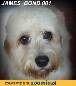 Dandie Dinmont Terrier FCI