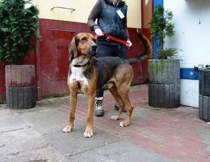 Monte  pies w typie Ogara