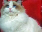 dostępne kocięta rasy Ragdoll