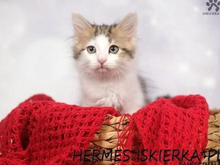 Hermes Iskierka*PL kocurek syberyjski