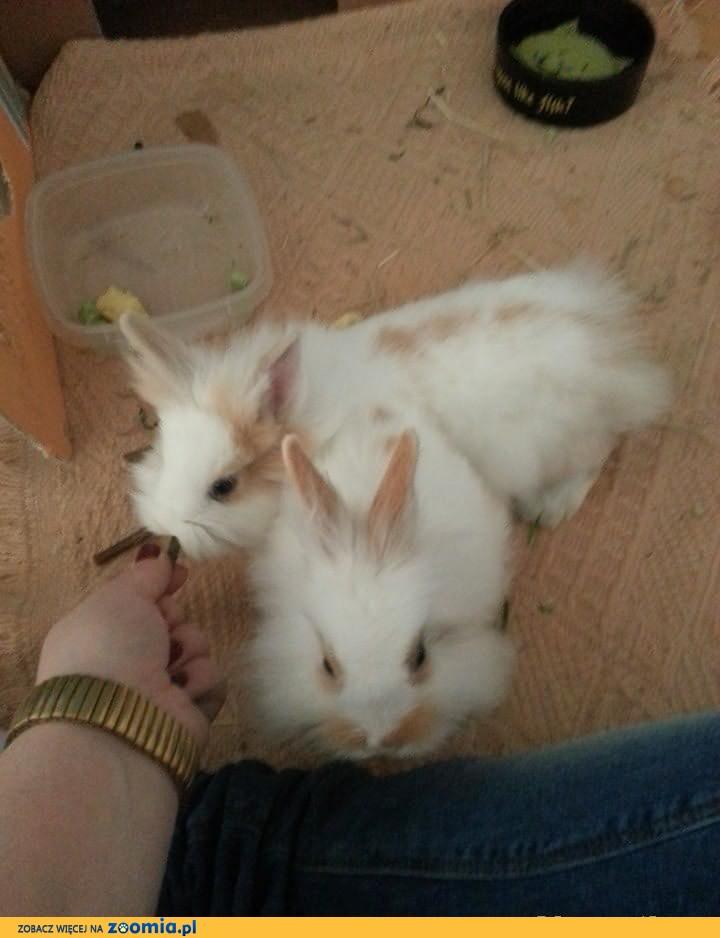 Do adopcji króliki miniaturki samiec i samica 4 msc woj. dolnośląskie