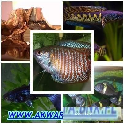Ryby słodkowodne akwariowe