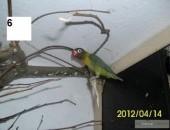 Sprzedam Papugi Nierozłączki