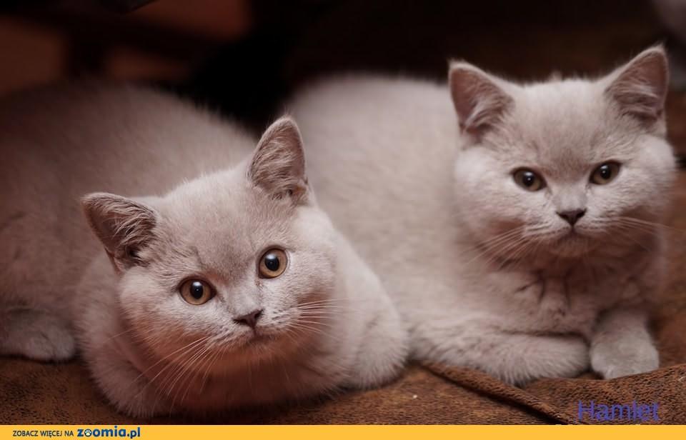 Kotki Brytyjskie Gotowe do Odbioru !!!