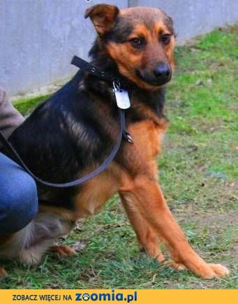 MISIEK - fajny, 3 letni psiak uratowany z łańcucha do adopcji,  mazowieckie Warszawa