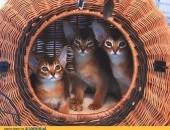 Kocięta Koty Abisyńskie Rodowodowe
