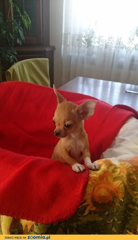 Chihuahua z rodowodem FCI