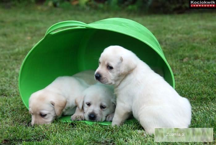 Labrador Retriever - biszkoptowe szczenięta z rodowodem ZKwP