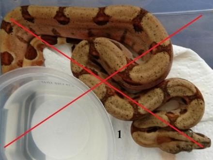 Sprzedam węża boa salmon _ classic odbiór osobisty lub wysyłka