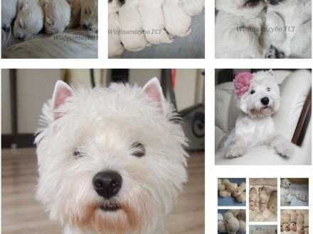 West Highland White Terrier FCI szczenięta rodowodowe